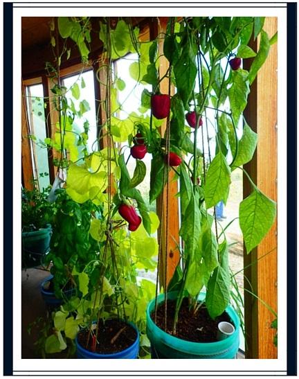 tomates earthship